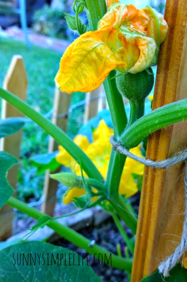 week in the garden and coop, small round baby zucchini