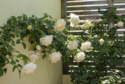 Rosa `My Girl´