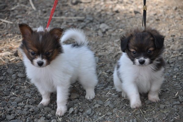 Tiny Toy Dog Breeds : Road s end papillons toy dogs small dog breeds vs