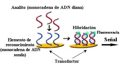 Biosensor de reconocimiento de ADN