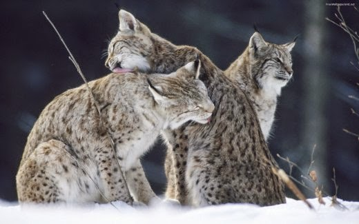 http://www.free-picture.net/animals/wild-snow-cats-free-picture.jpg.html