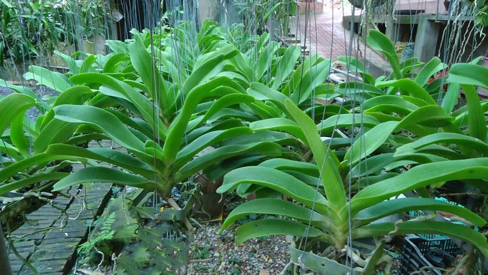 Hoa phong lan dai chau dom hong