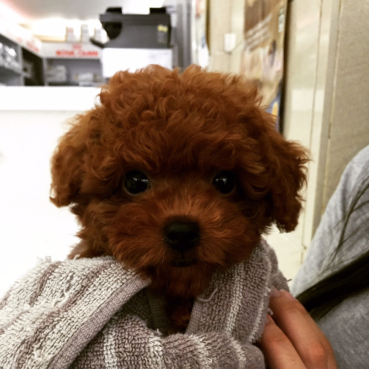 Red toy poodle in hong kong mochis weight and height chart i am mochi geenschuldenfo Image collections