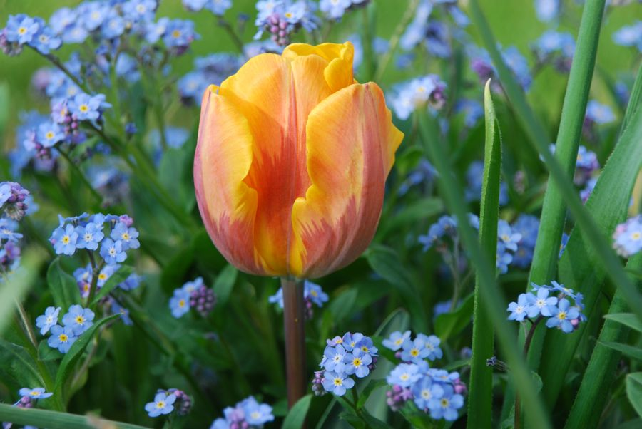 Orange and purple-flamed Tulipa 'Princess Irene' and blue forget-me-nots (Myosotis) in our Front Walk last spring.
