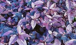 Obat wasir dari daun ungu