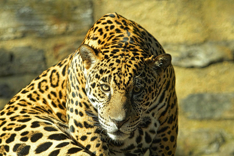 jaguar o puma