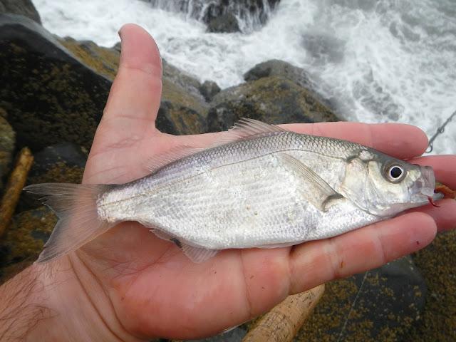 Spotfin Surfperch