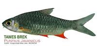 gambar ikan air tawar