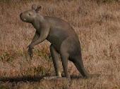 Sthenurus (giant kangaroo)