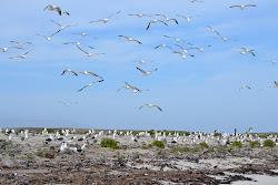 Kelp gulls on Carcass islands