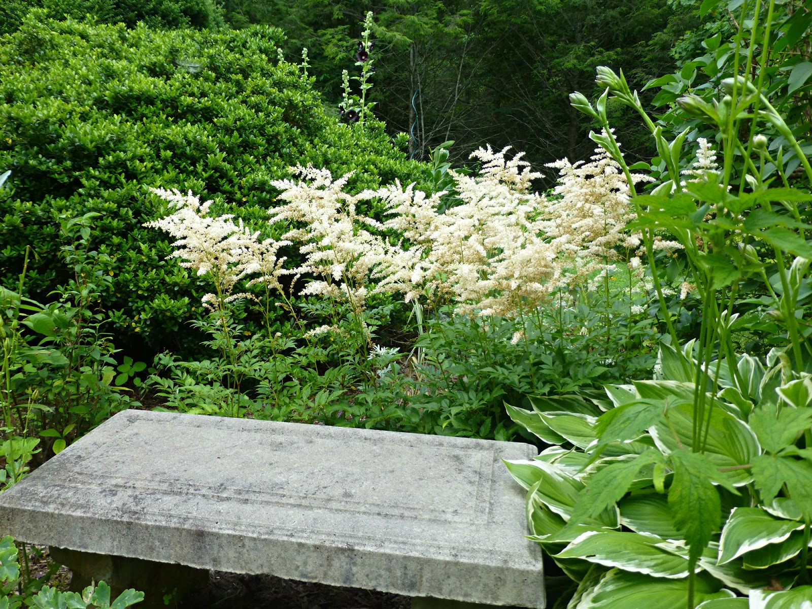Black and white garden june 2015 update green plants surrounding a concrete garden bench with white plumes of flowers behind it mightylinksfo