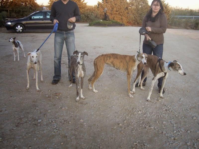 De izquierda a derecha  NATA, ALMA, QUEEN y TESSA. Las 4 galguitas fueron rescatadas de la perrera juntas después de que se deshicieran de ellas por no saber cazar.