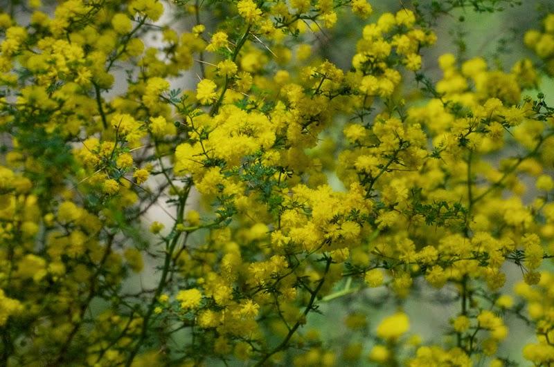 Prickly Moses (Acacia pulchella)