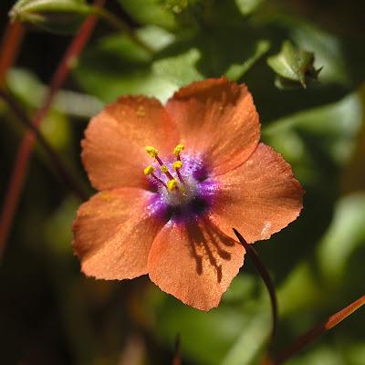 biljka vidac vidova trava vidovcica