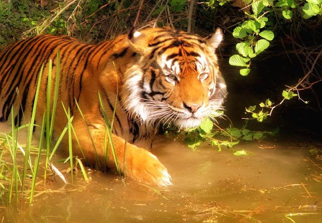 Tigre dans la mangrove