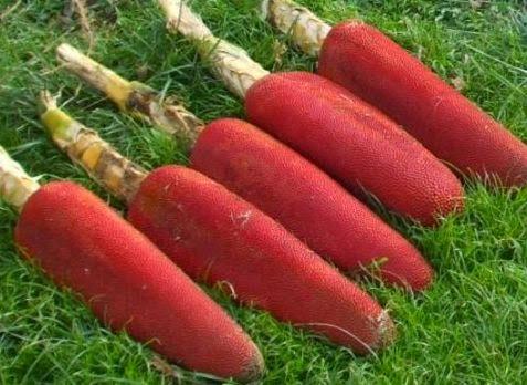 23 Khasiat Minyak Buah Merah