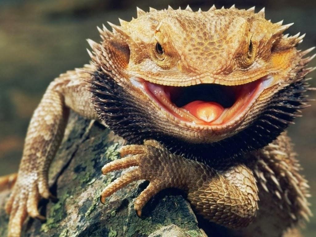 "<img src=""http://1.bp.blogspot.com/-TEsdZ1G0U6c/UtkJ78h07xI/AAAAAAAAIbc/9dh6pTpJ8OU/s1600/animal-wallpapers-reptiles-dragon.jpeg"" alt=""reptiles wallpapers"" />"