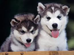 she wants a husky puppy