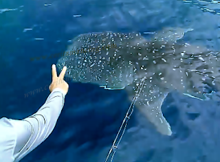 Huge Whale Shark Around Our Fishing Boat