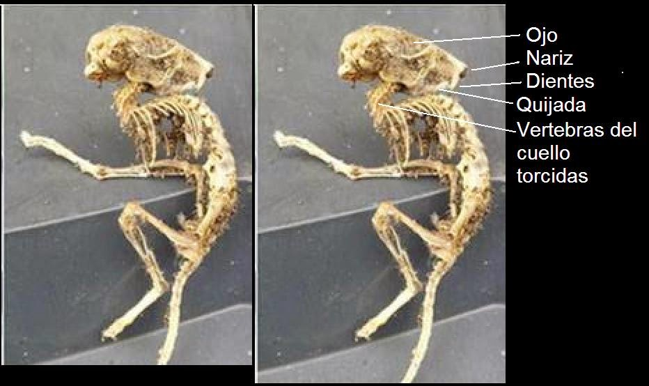 Archivo Insólito: Presunto alien de Inglaterra resultó ser una rata