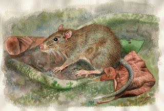 spesies tikus berduri