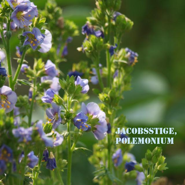 Jacobsstige, Polemonium er en let og smuk staude med blå blomster