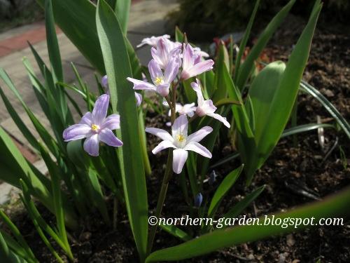 Nadezdas Northern Garden Vernal Flowers What To Choose