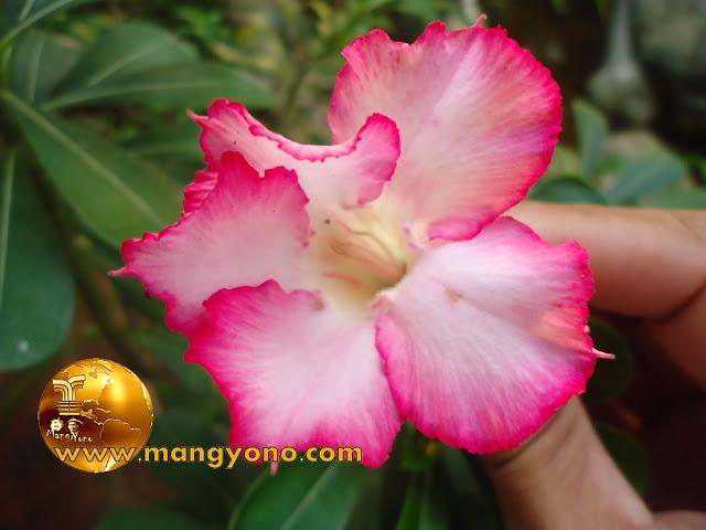 Cara / Tips Merawat Bunga Kamboja Jepang ( Adenium )