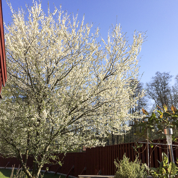 mirabelleträd