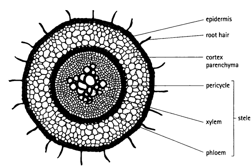 39 structure of transport tissues in plants