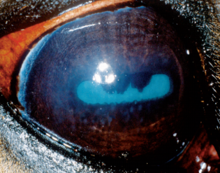 equine fungal keratitis - photo #15