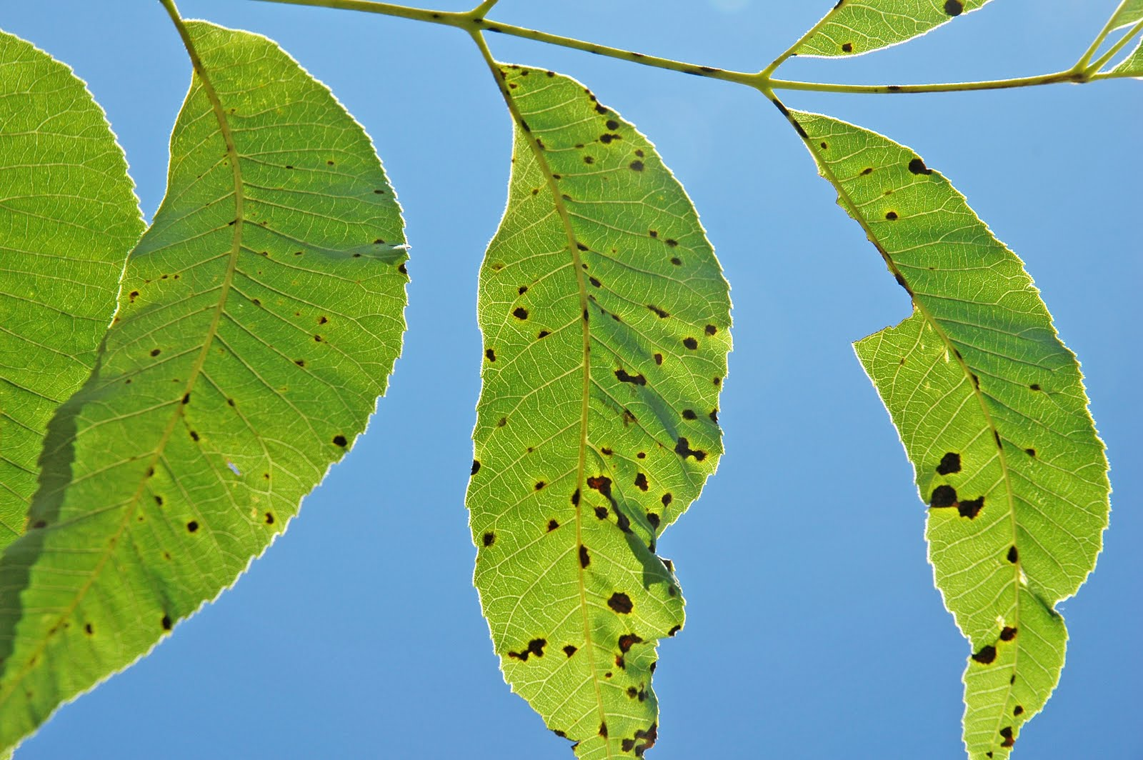 Tree leaves of kansas - Over The Past Several Years Pecan Scab Has Developed Into A Massive Problem For Northern Pecan Growers This Year In Se Kansas Weather Conditions In May