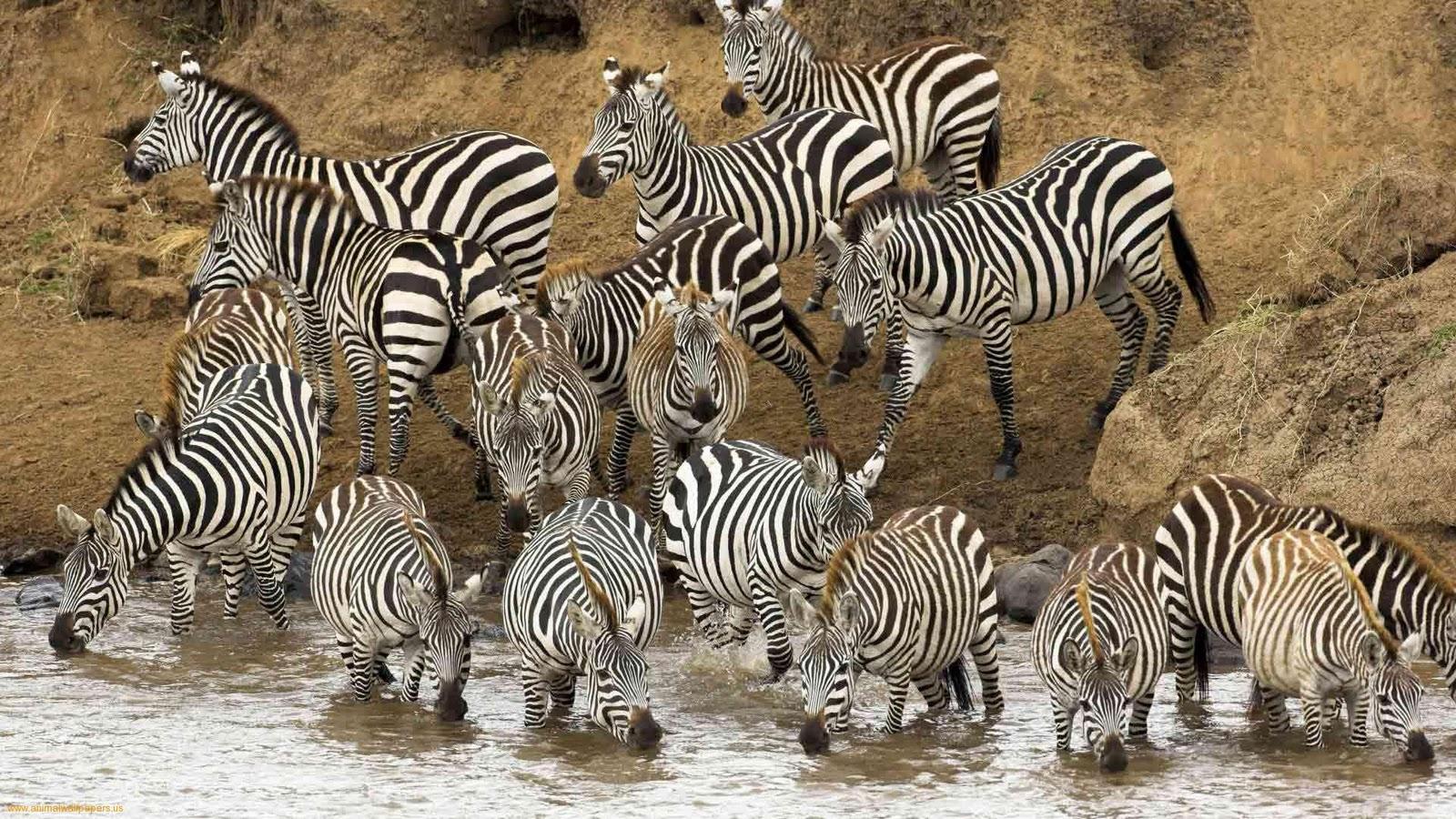 http://1.bp.blogspot.com/-THon4HsEdm4/ULoLxu_5csI/AAAAAAAAJEI/B3ixlQt5Q6g/s1600/Wild-Animal-zebra-Wallpaper-1080p-HDTV.jpeg