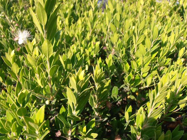 ARRAYÁN: Myrtus communis