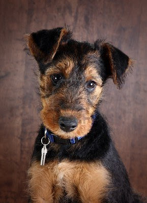 Airedale Terrier Puppy Pictures