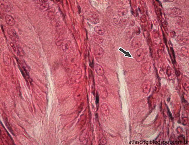 Tecido epitelial de revestimento simples prismático