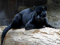 Black Panther Picture and Photo 18