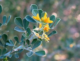 Medicago (Medicago arborea) flor silvestre amarilla