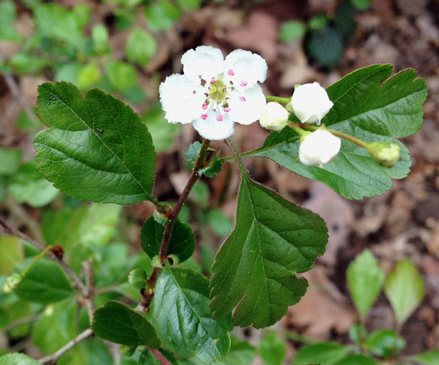 Midland Hawthorn, Crataegus laevigata.  Two styles are visible in this flower, and notice the leaf shape.  Orpington Field Club outing to Crofton Heath and nearby woods on 7 April 2012.