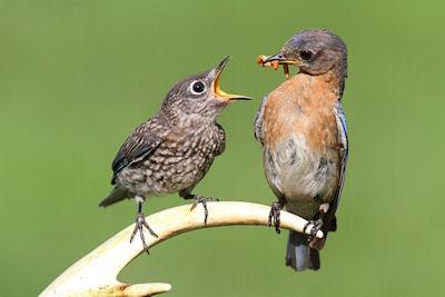 Ave alimentando a sus crías en el bosque - Pajarillos
