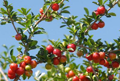 A acerola frutifica de 3 a 7 vezes em um único ano
