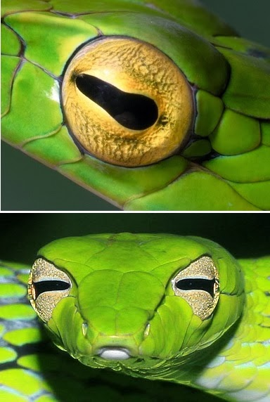 Life is short, but snakes are long: How snakes see through ...