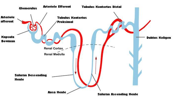 Anatomy of Kidney | Healthy Heart