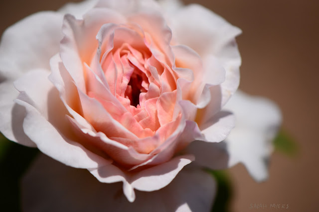 rose, rosebud, sarah myers, photography, photograph, heart, center, centre, nature, plant, flower, garden, beauty, flores, rosa, macro, close-up, bright, brilliant, horizontal, hybrid, pink, white, english, ruffles