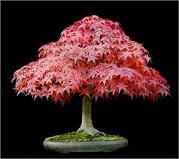 Acer Rojo