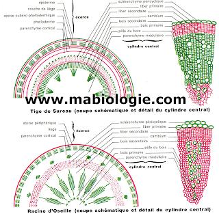 Les tissus végétaux