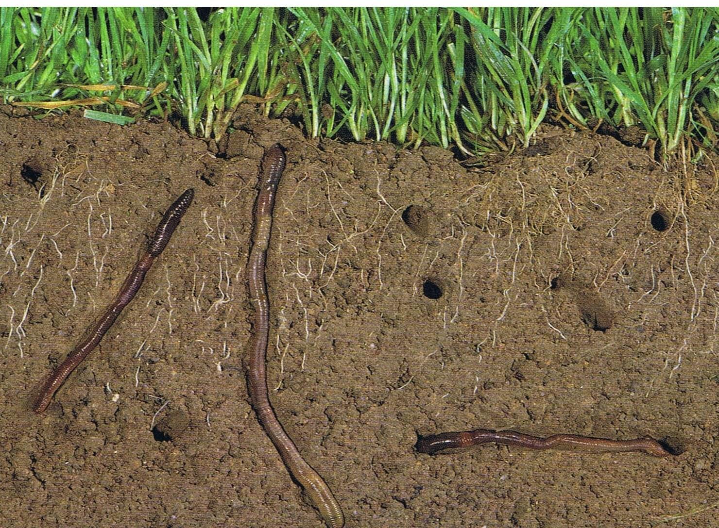 Mach bio les vers de terre dans le jardin des alli s - Vers dans les cerises ...