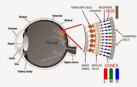 Diagram Of Eye With Color Simple Electronic Circuits