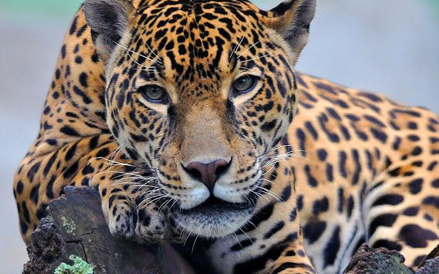 Jaguares Fotos HD