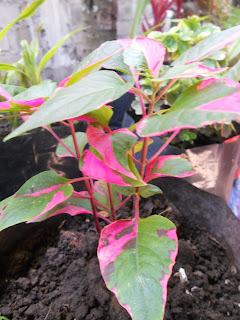 a pink-leafed plant in my flower garden